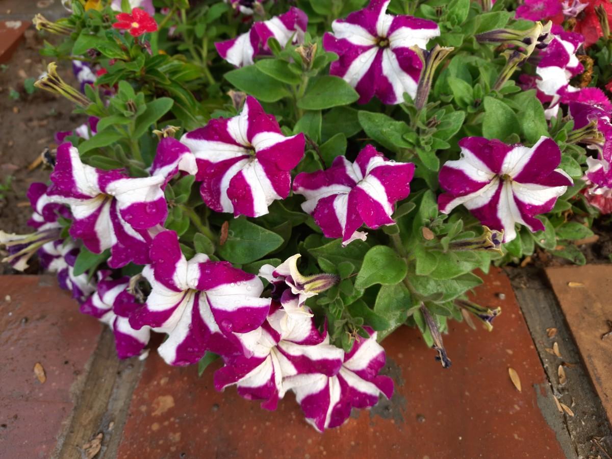 Spring flowers blooming in My garden—Petunia
