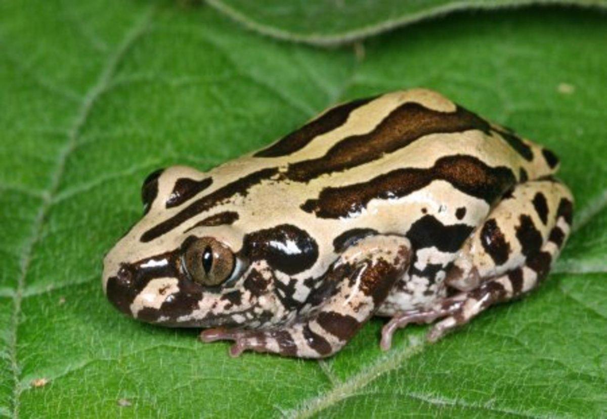 Senegal Land Frog (also called Senegal Running Frog)