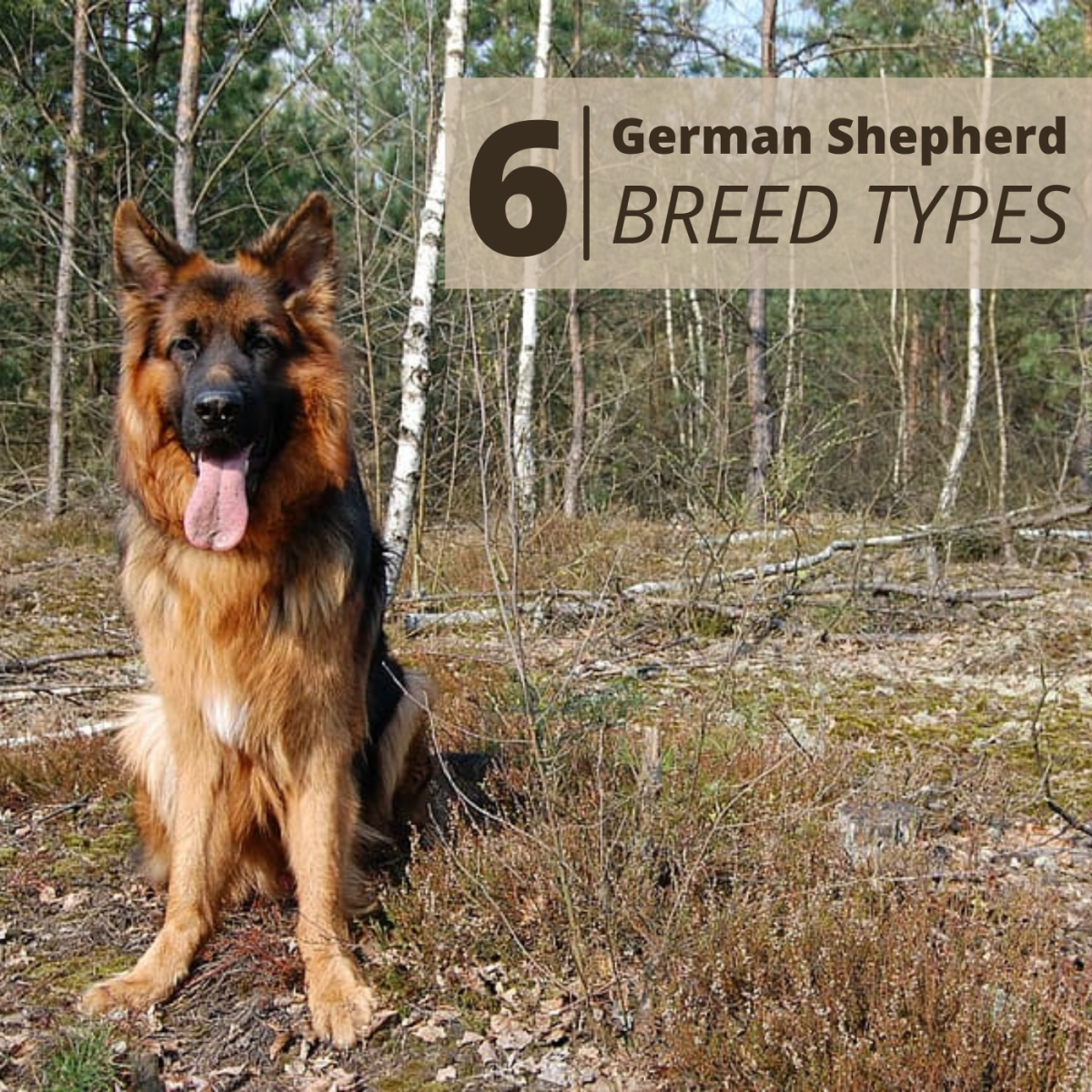 Since the breed was born, a number of distinct varieties of German Shepherd have emerged.