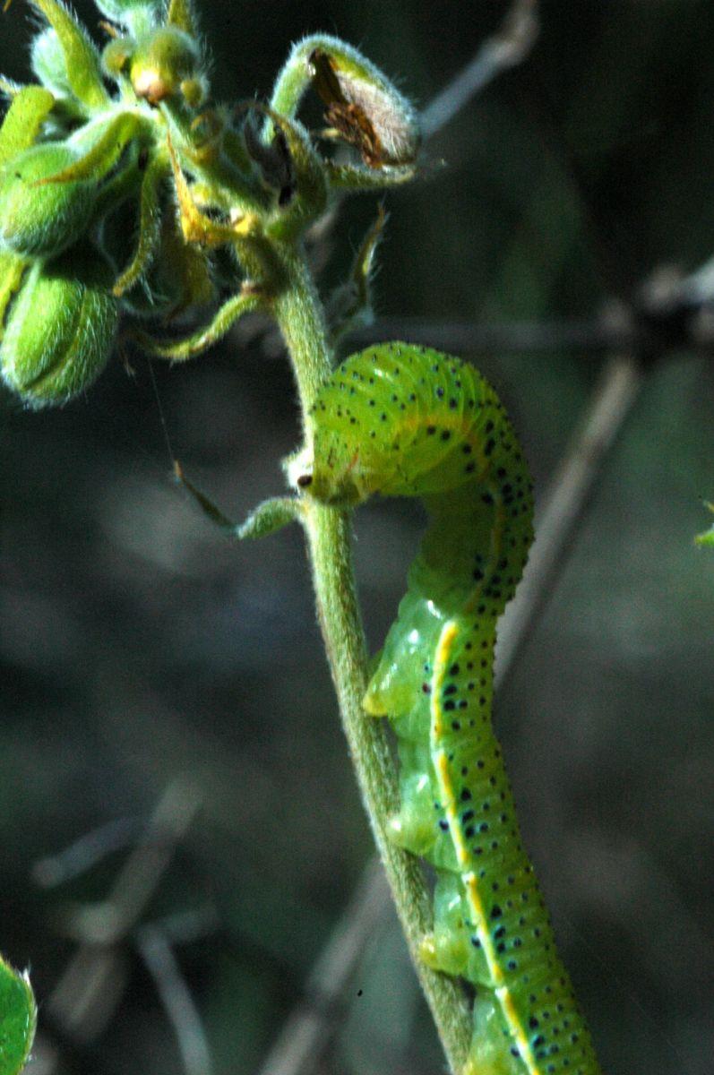 Phoebis sennae caterpillar