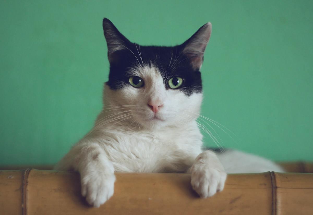 Can Cats Get Parvo- Symptoms & Treatment