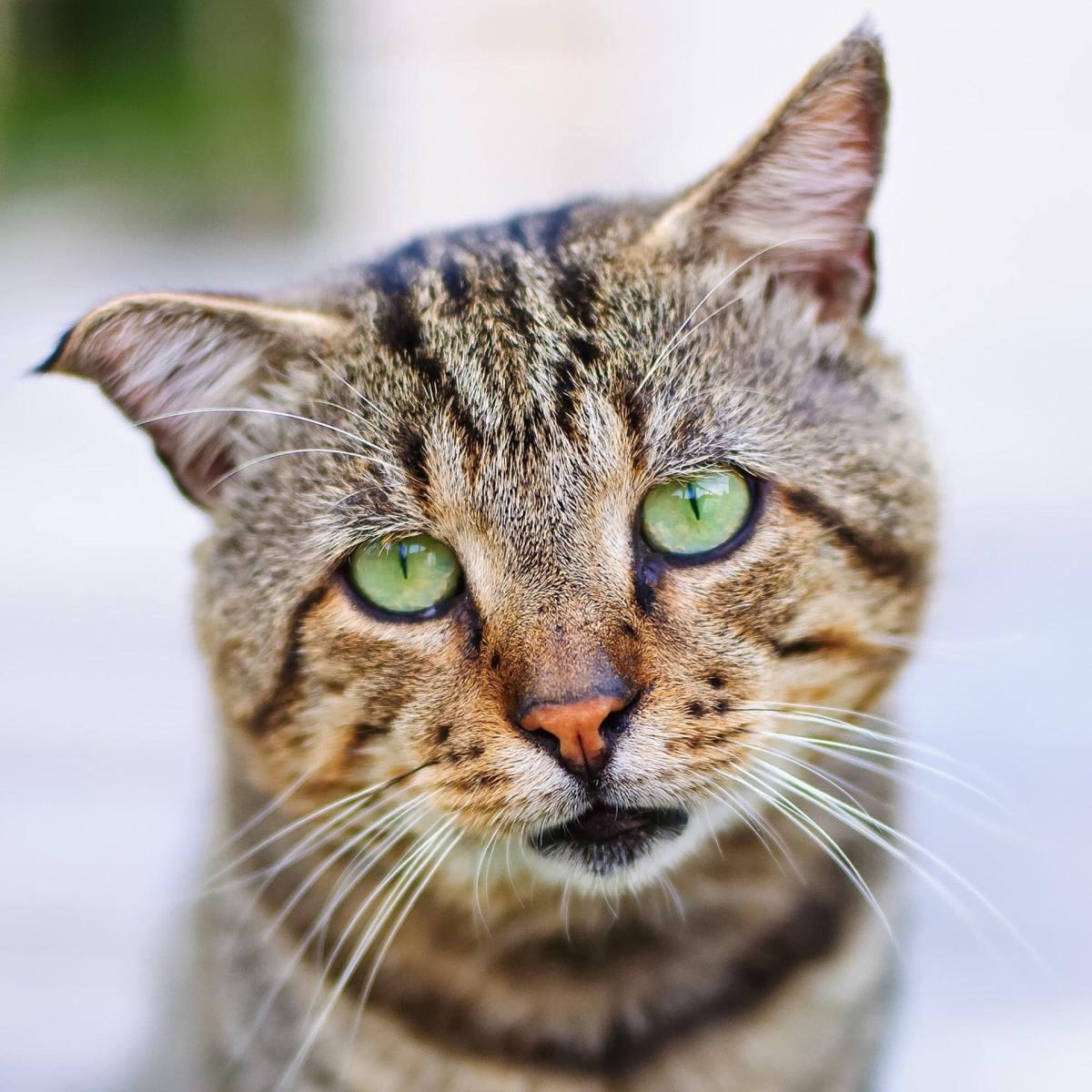 can-cats-get-parvo