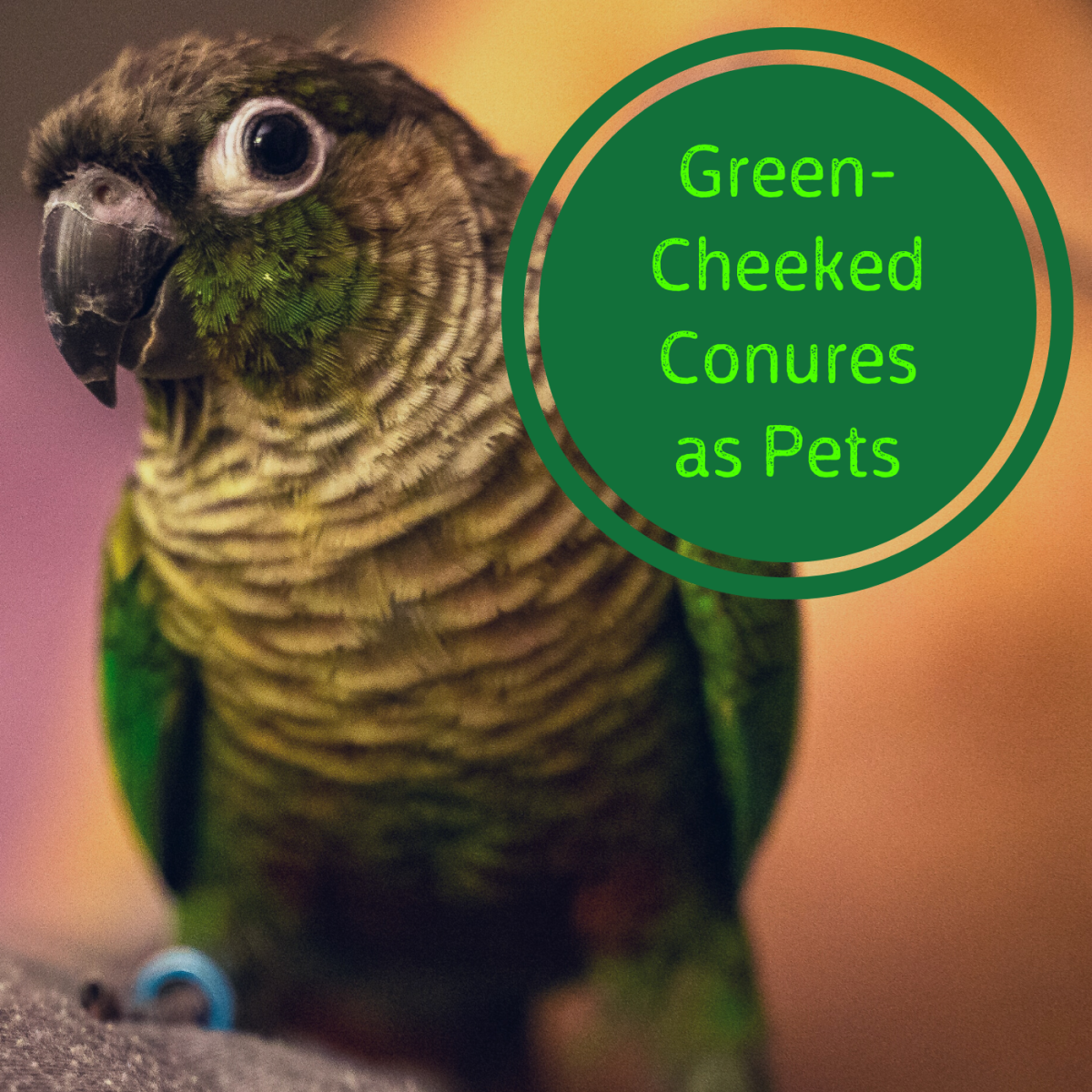 How to Care for a Green-Cheeked Conure Parrot