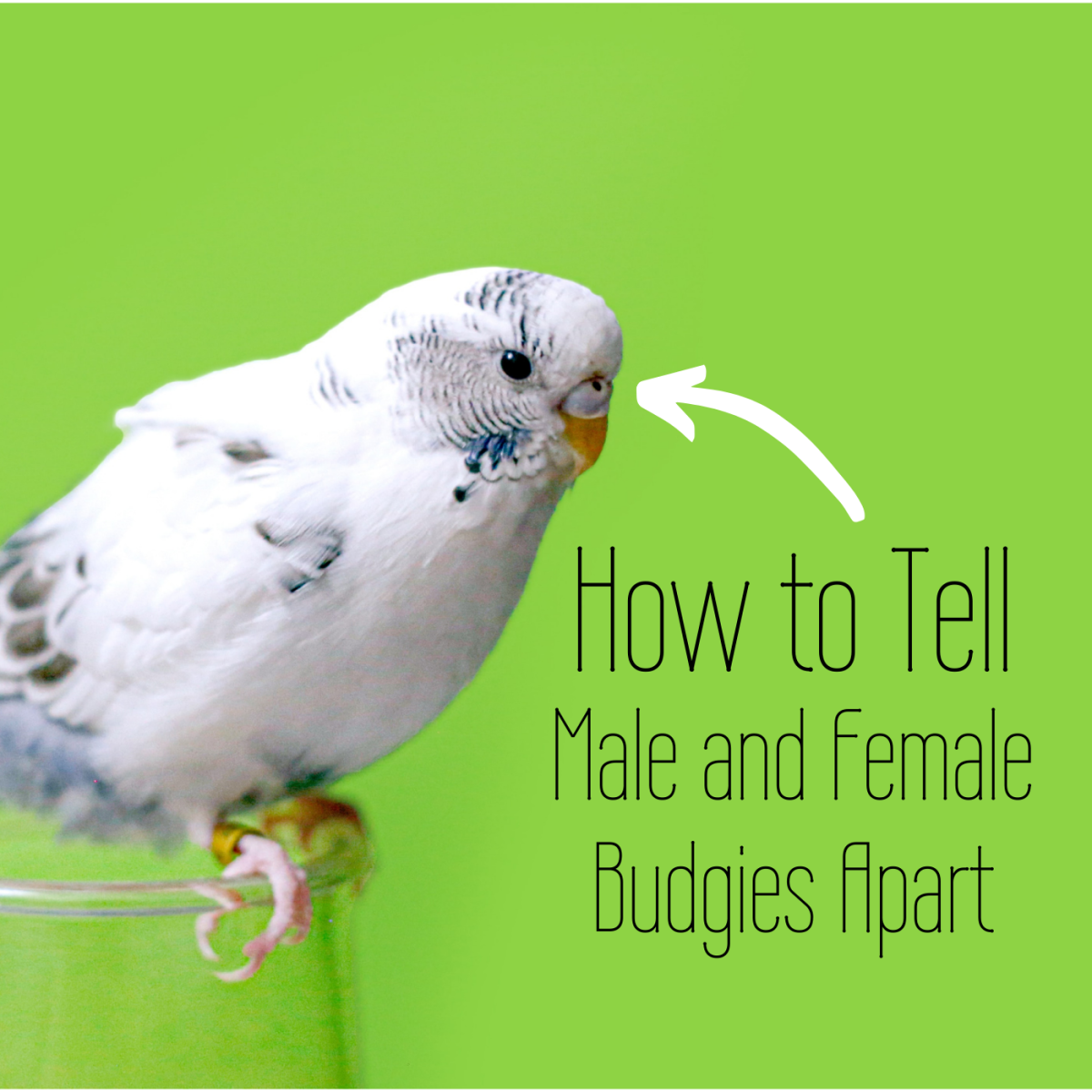 Not sure whether your budgie is a boy or a girl? Check the cere, which is the top patch of their beaks. Learn what to look for in this article.