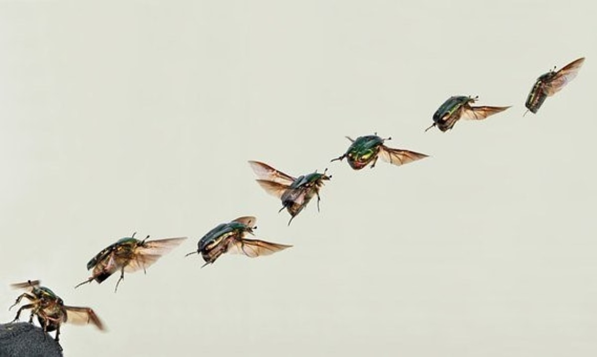 A Shiny Rose Gold Beetle in flight with its legs unfurled.
