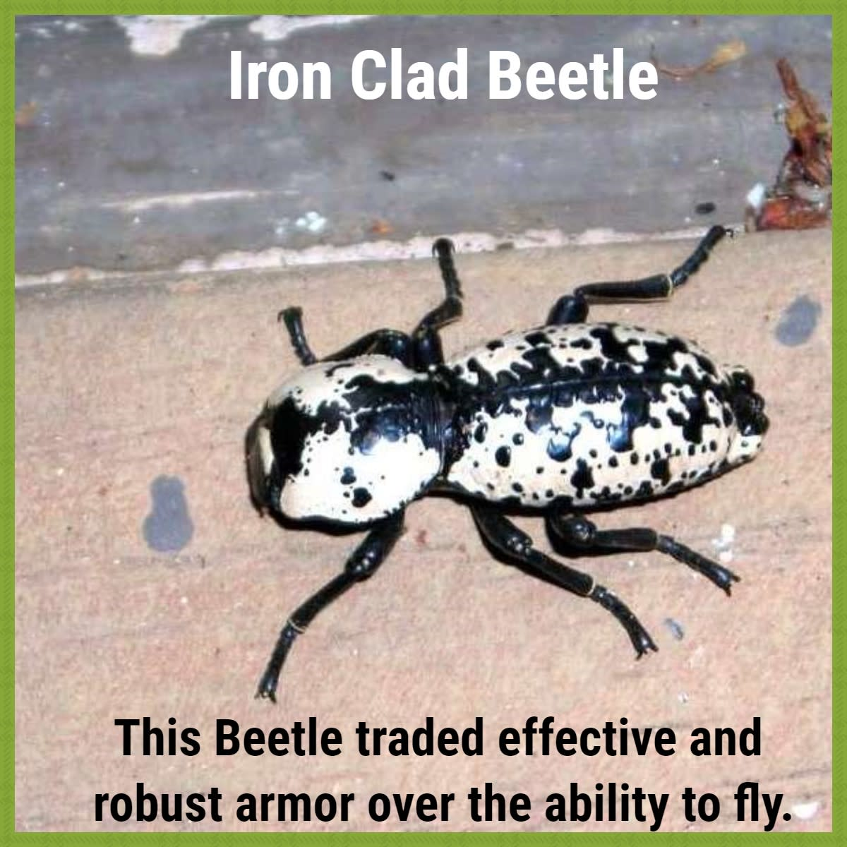 The Ironclad Beetle is the most heavily armoured of all beetles.