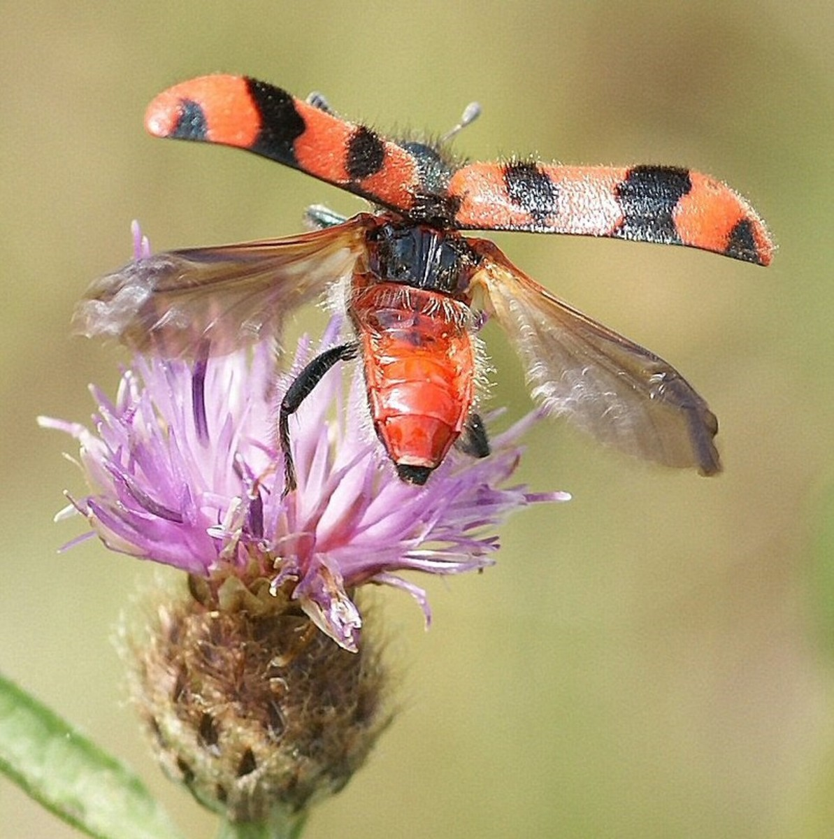 This Soldier Beetle is preparing for taking-off. The back wings of a beetle are transparent. This beetle uses its rear wings to fly while the rigid front wings are raised up out of the way.