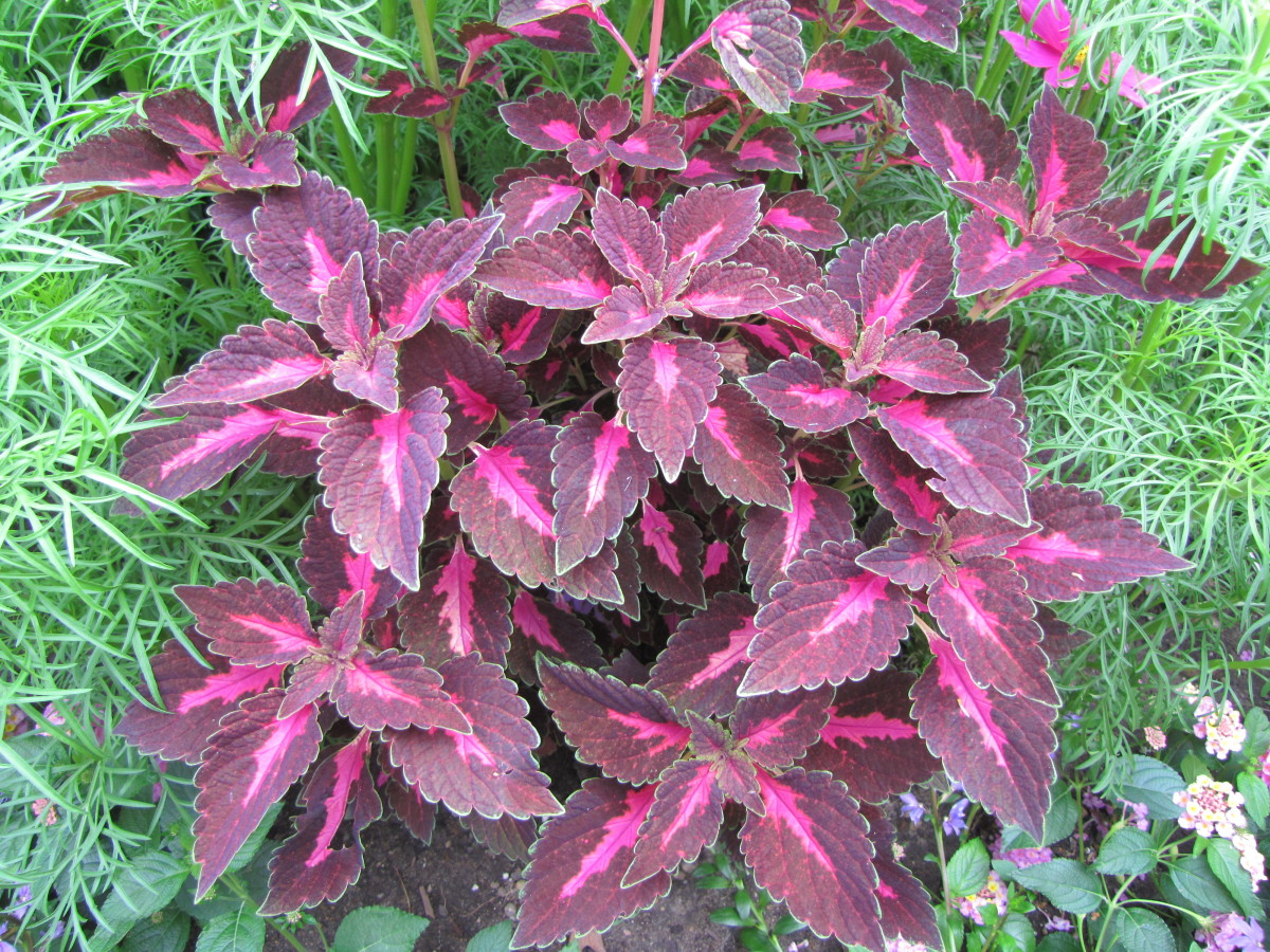 Coleus comes in many colors but I love the purple ones like this the best. They add a dramatic splash of color and are easy to grow.