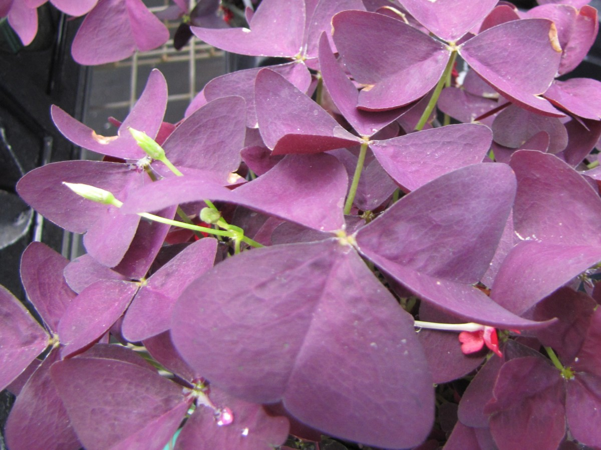 You don't have to be Irish to grow shamrocks. The green-leaved ones are traditional, but try the purple ones for a change. They are a delight.