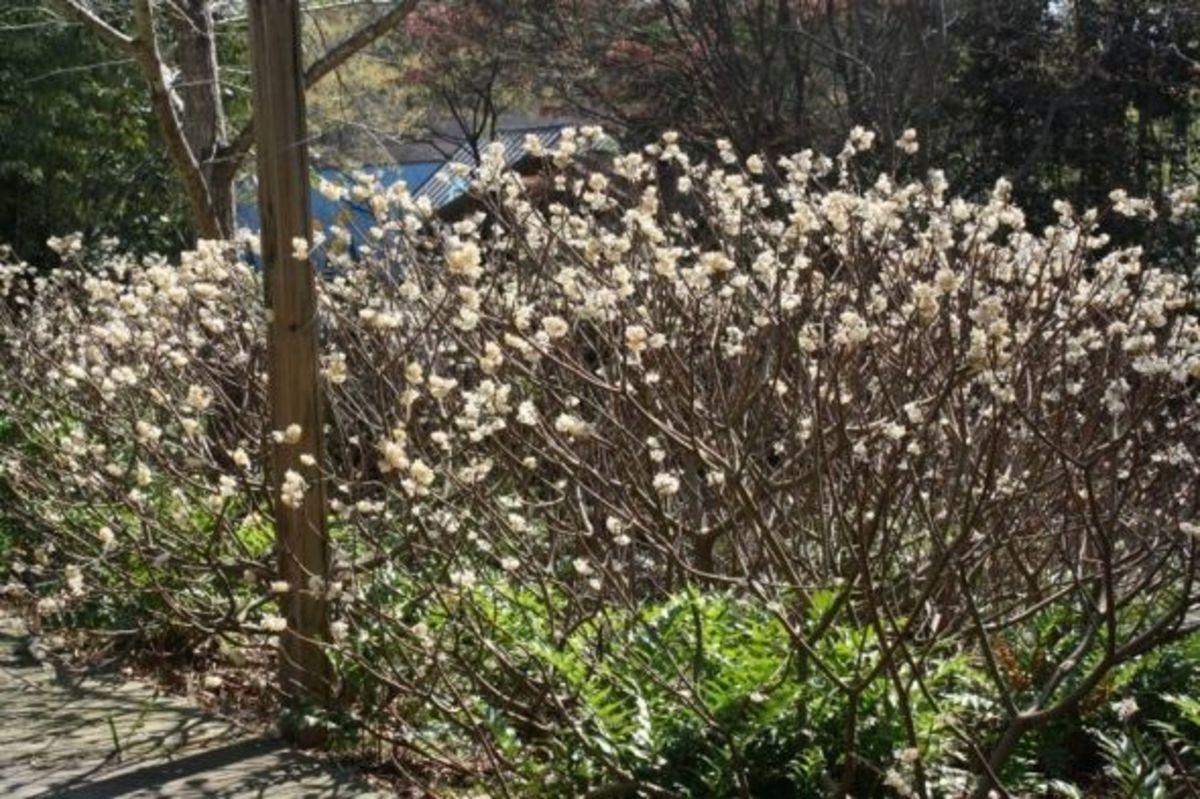 Edgeworthia Chrysantha at SC Botanical Gardens