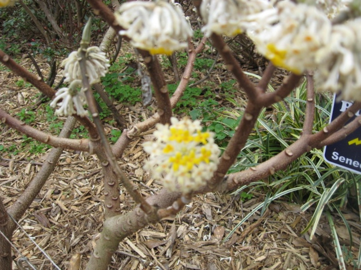 Edgeworthia Chrysantha or Chinese Paper Bush