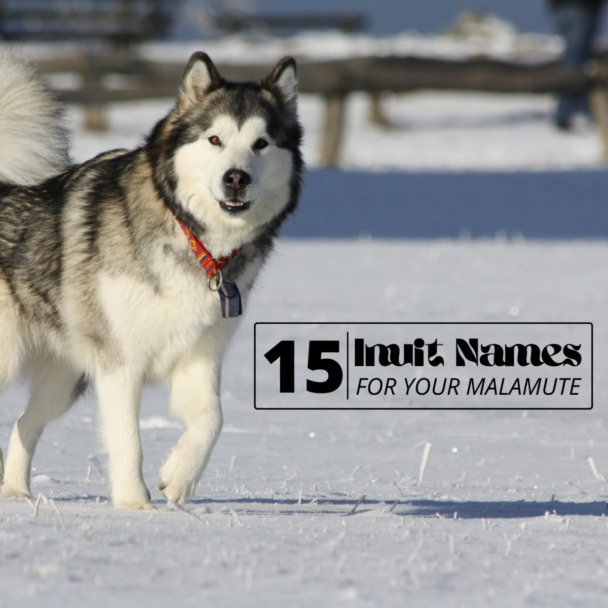 Choose a name with meaning to match your Malamute's unique personality.