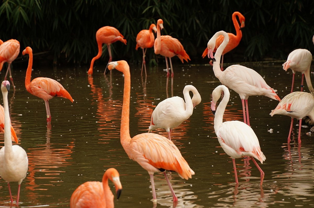 A group of flamingos walking and drinking on a pond