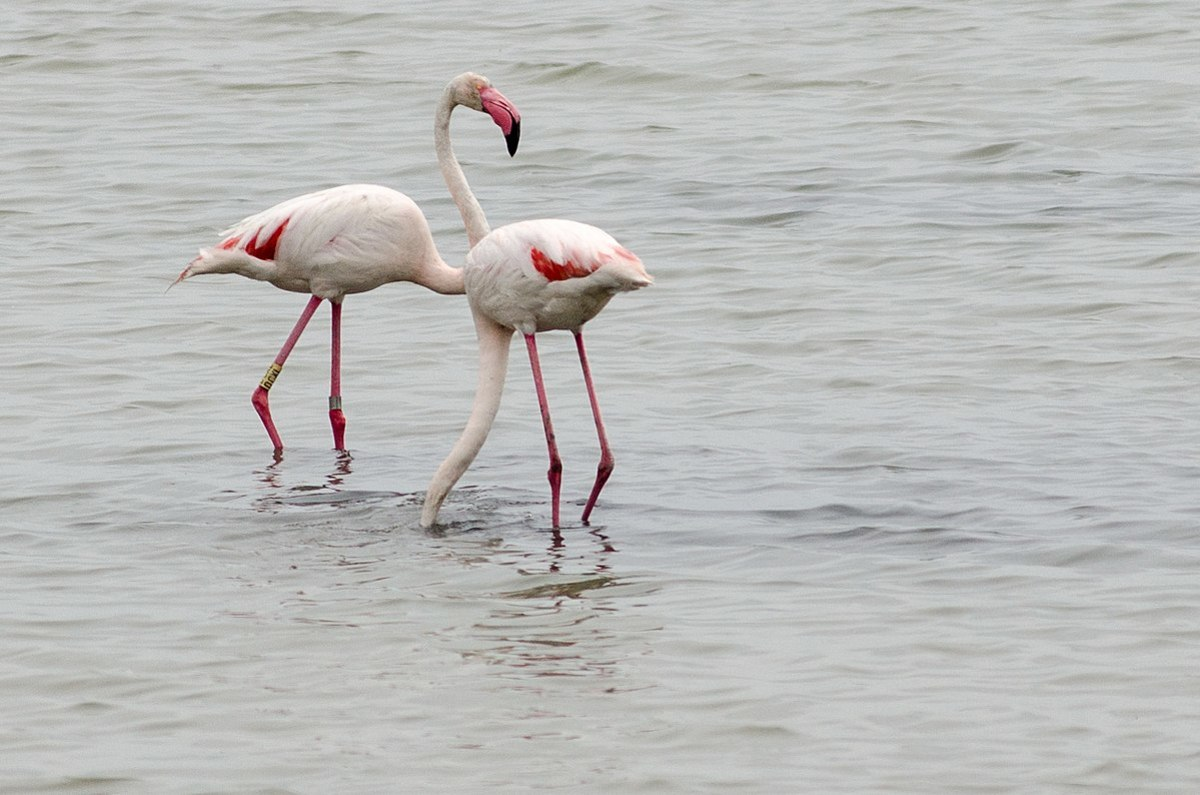 Flamingos while looking for food