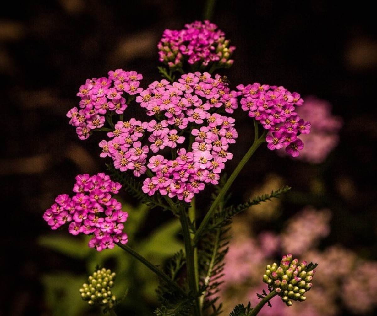Use Yarrow to induce dreams to reveal a future lover.
