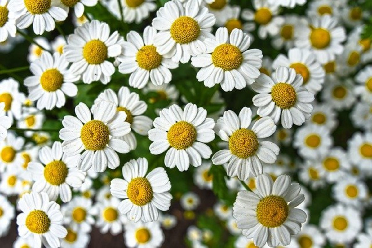 Chamomile is a soothing Lunar herb.