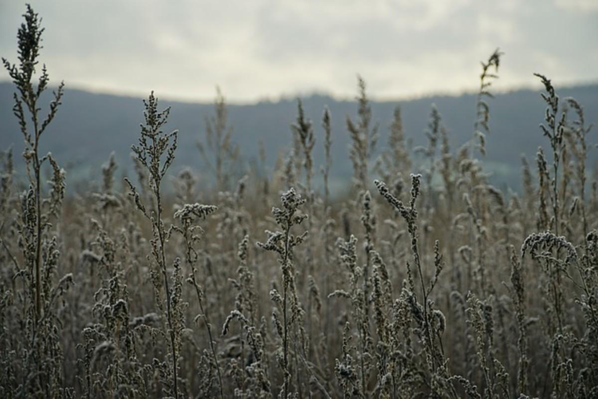 Mugwort is the ultimate divinatory herb.