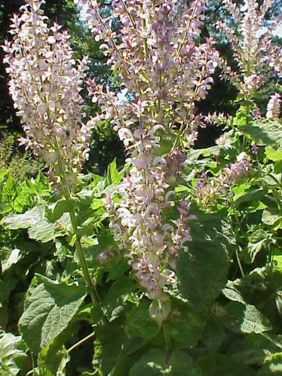 Write your wishes on Clary Sage leaves and place them under your pillow.