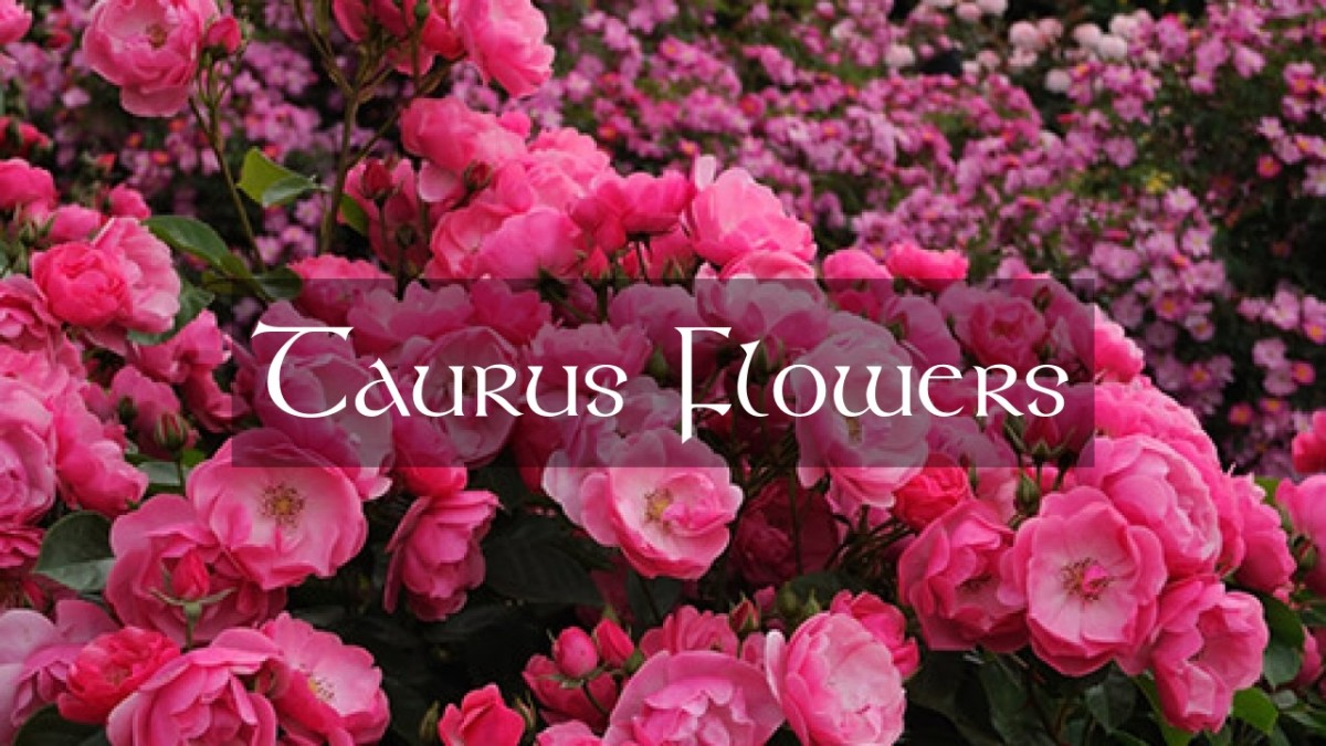 Taurus is the king gardener with flowers that would impress the gods. The Taurus garden will have flowers like: roses, daffodils, tulips, bloodroot, pansies, pig squeak, crocus, and false forget-me-nots.