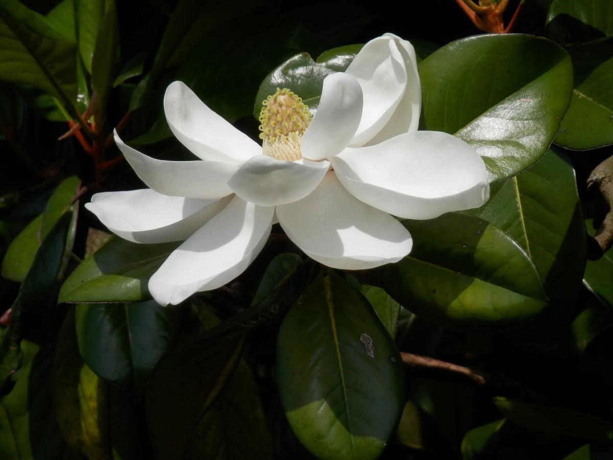 CC0 Public Domain Southern Magnolia