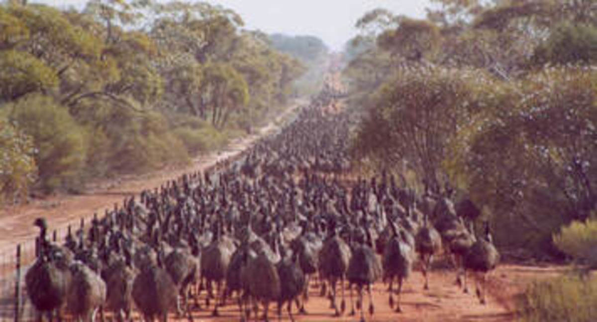 20,000 emus march towards Australian farmlands in search of food, water, and a better life.