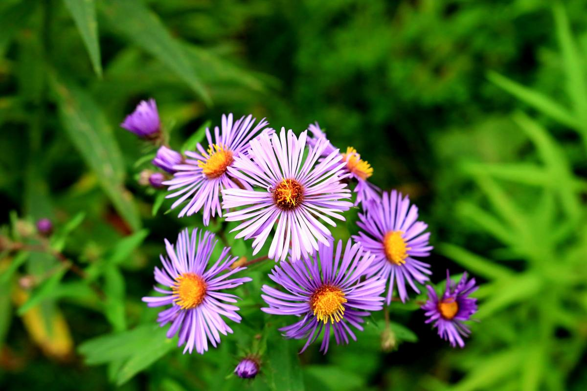 This article will break down the process of growing and caring for lovely New York asters.