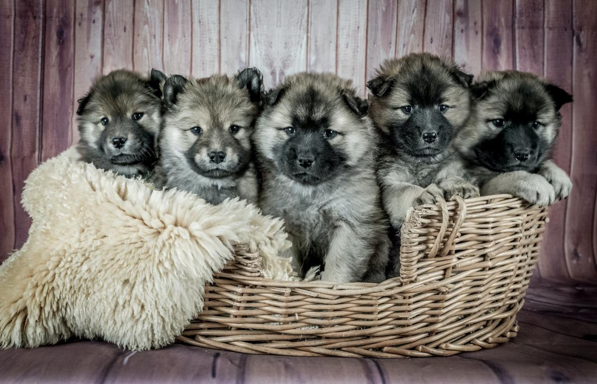 puppies-with-hiccups