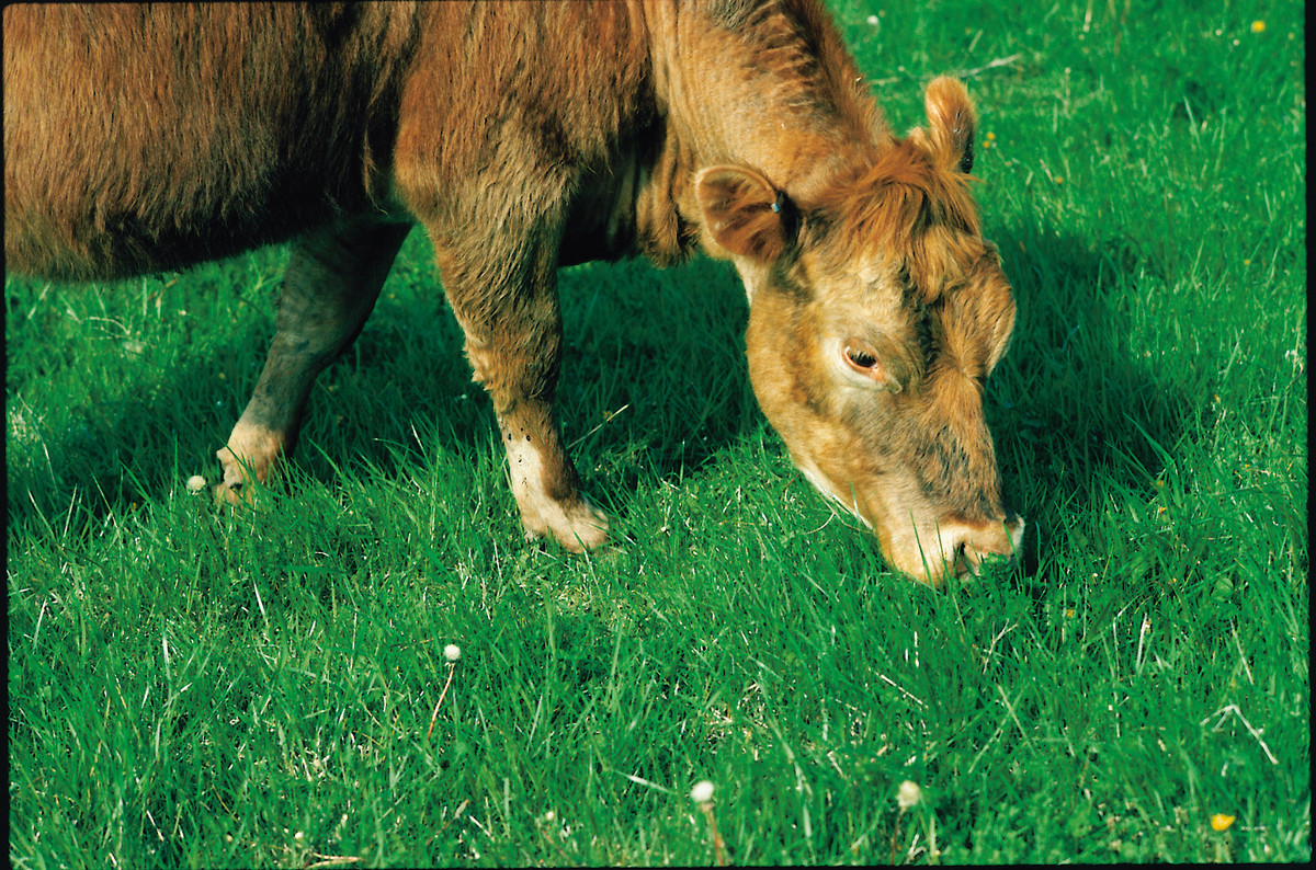 A cow eating beautiful, lush green grass the way nature intended.