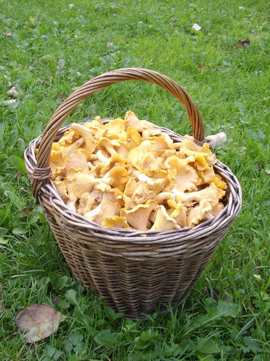 Chanterelles are popular mushrooms for eating and are easy to pick.