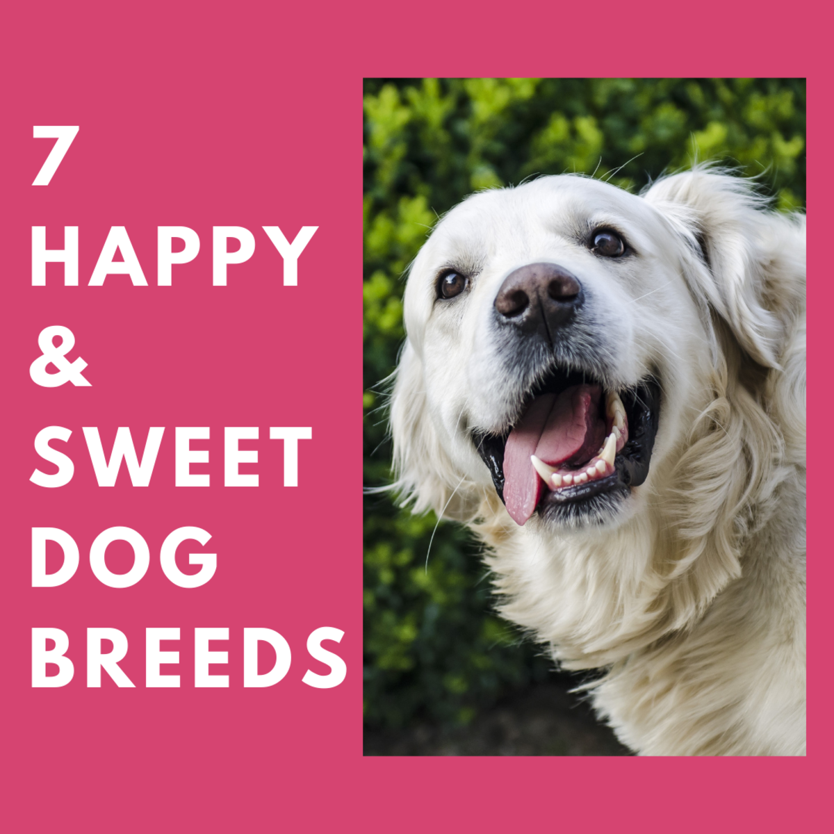 Seven Happy Dog Breeds That Your Family Will Love