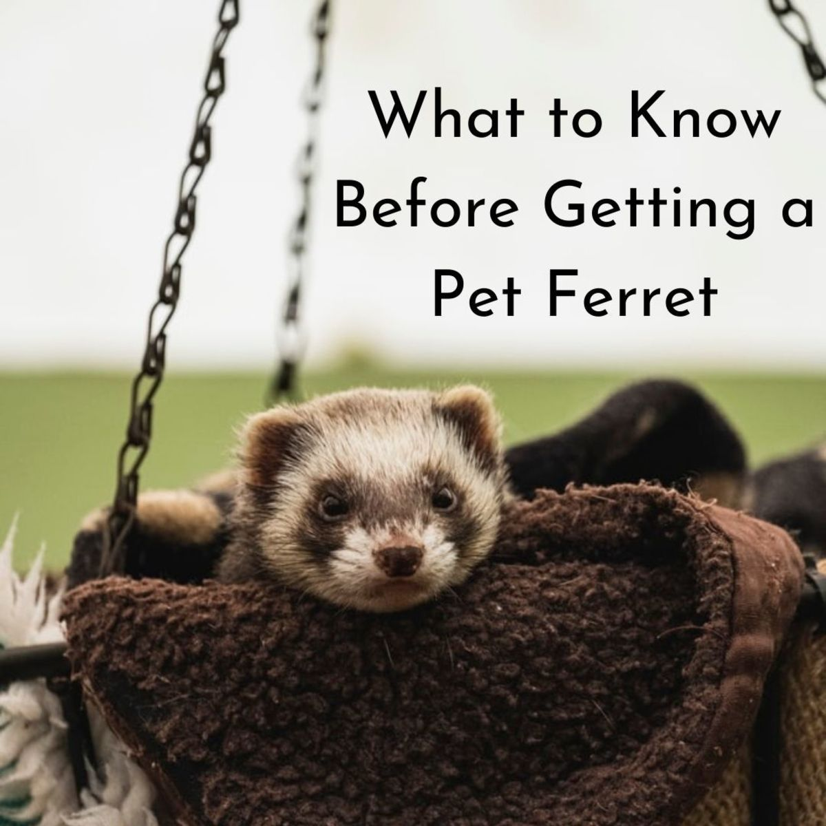 Ferrets are extremely interesting creatures!