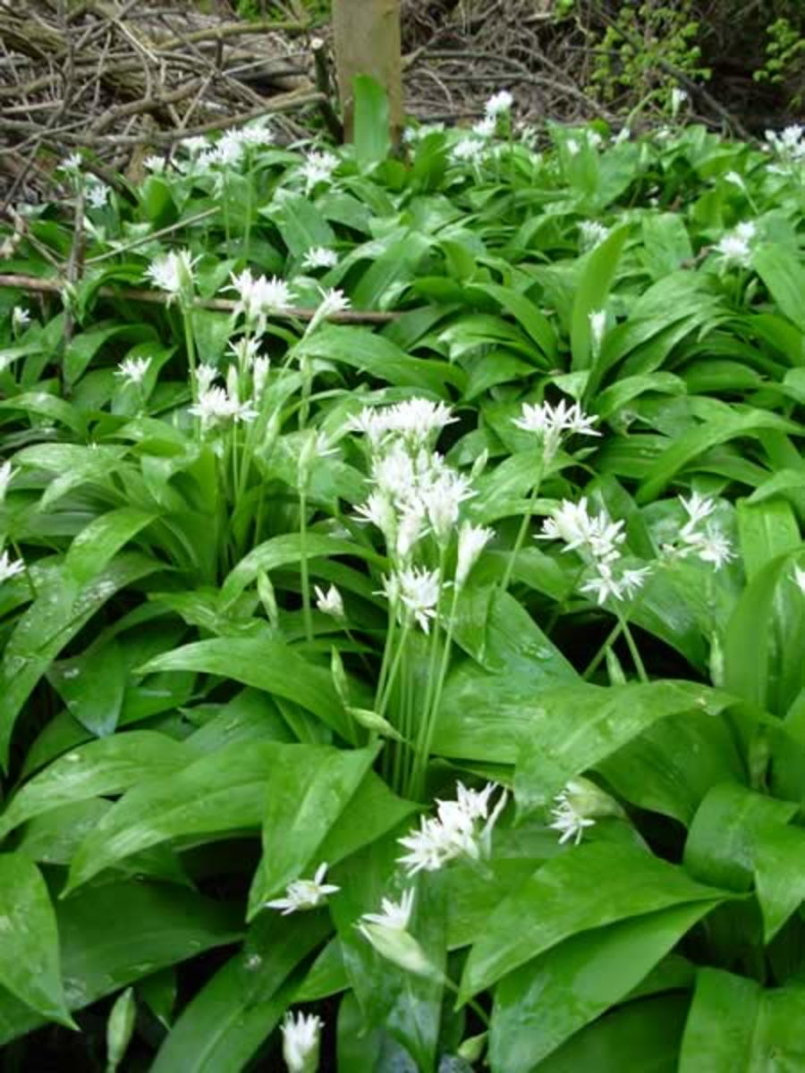 Recipes For Wild Garlic Soup