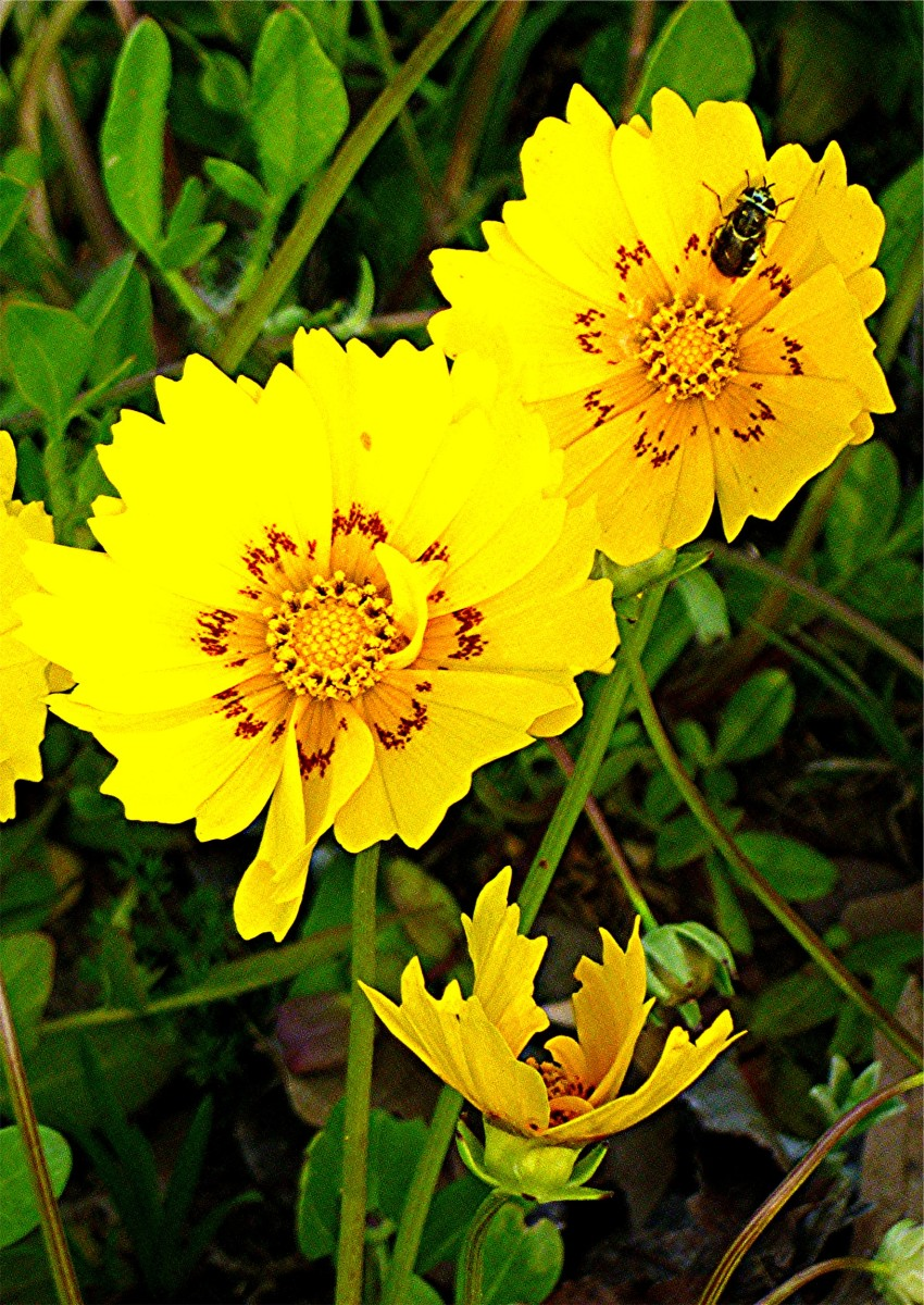 Coreopsis nuecensis wildflower with bee