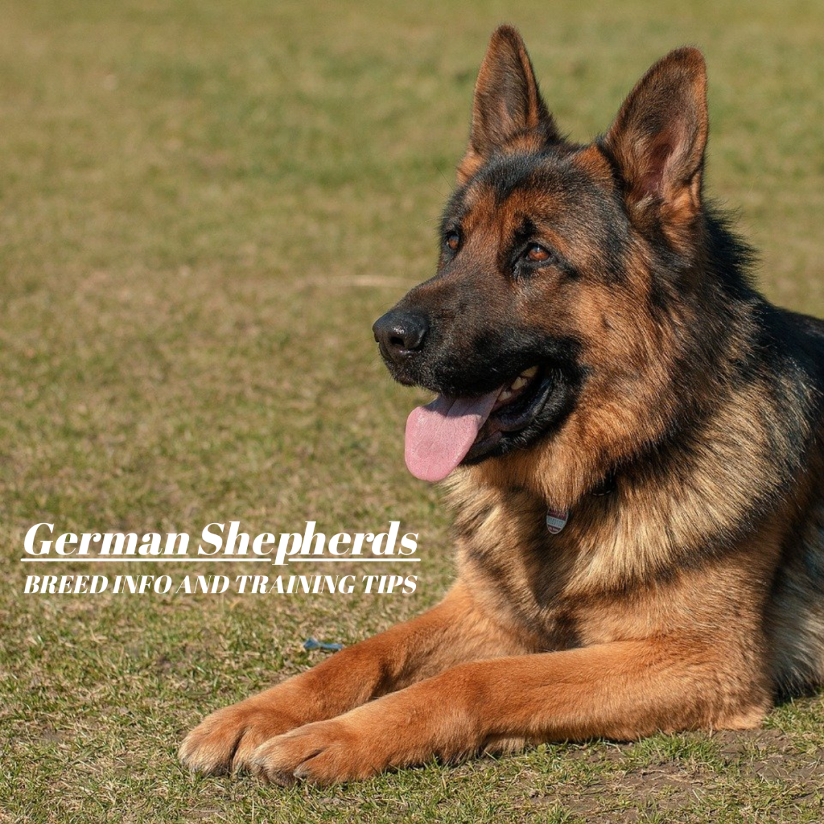 German Shepherds are intelligent, loyal, and highly trainable if worked with carefully.