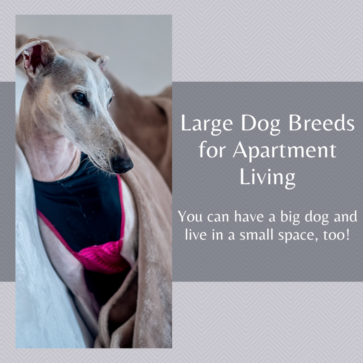 The Greyhound is one of the best large dog breeds for an apartment.