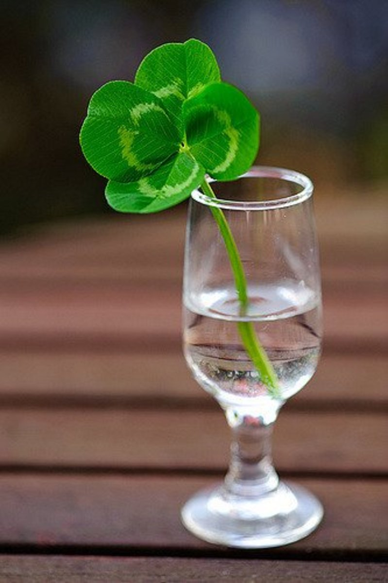 The Lucky Clover is a white clover that has four leaves instead of three.