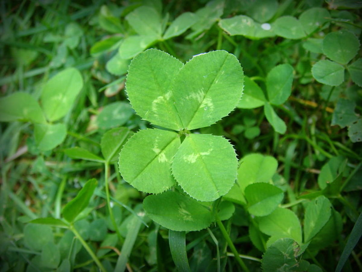The four leaves of the Lucky Clover are commonly believed to represent, love, faith, hope and luck.