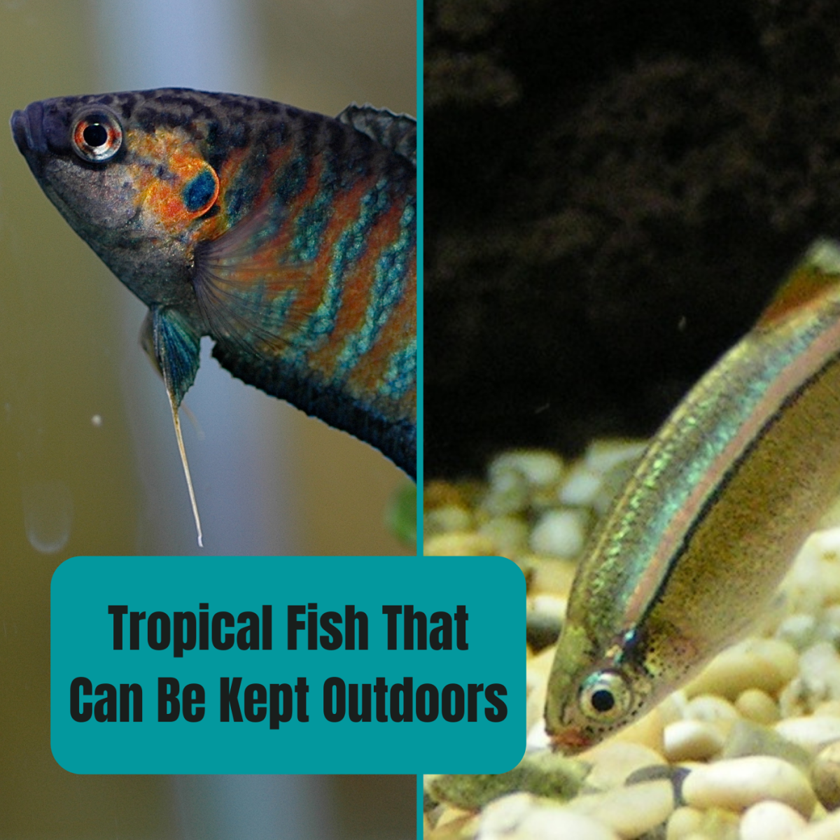 Paradise fish (left) and white cloud mountain minnows (right) are two examples of tropical fish that can actually be kept outside in the warmer months.