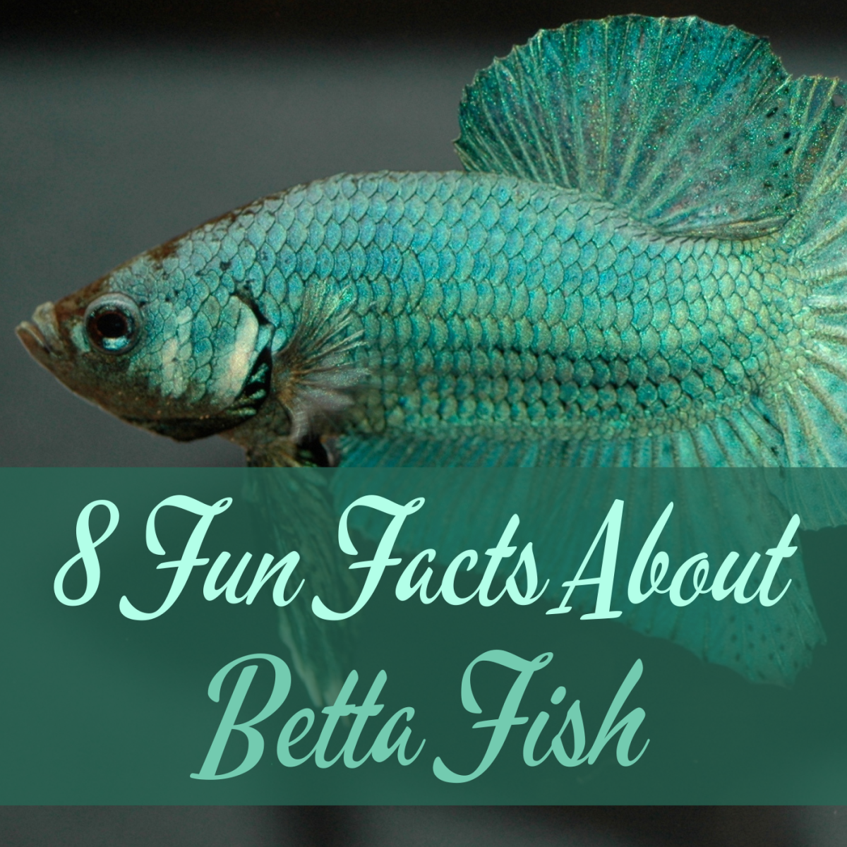 Learn some intriguing facts about the Siamese fighting fish or betta fish. This photo is of a beautiful male betta.