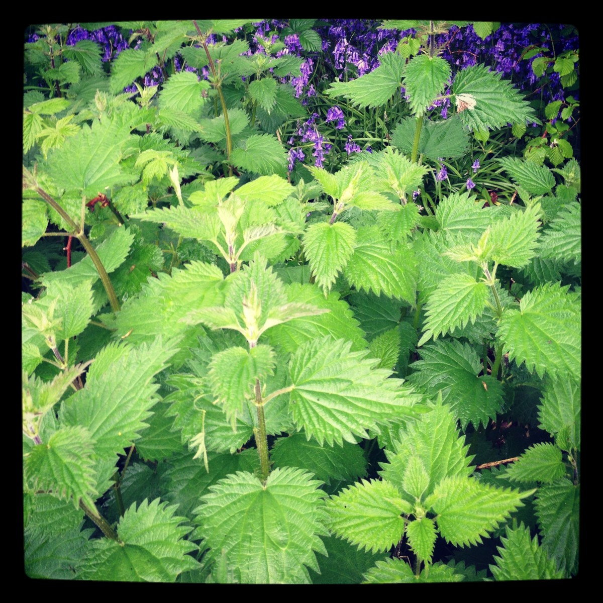 Stinging nettle patch in early spring