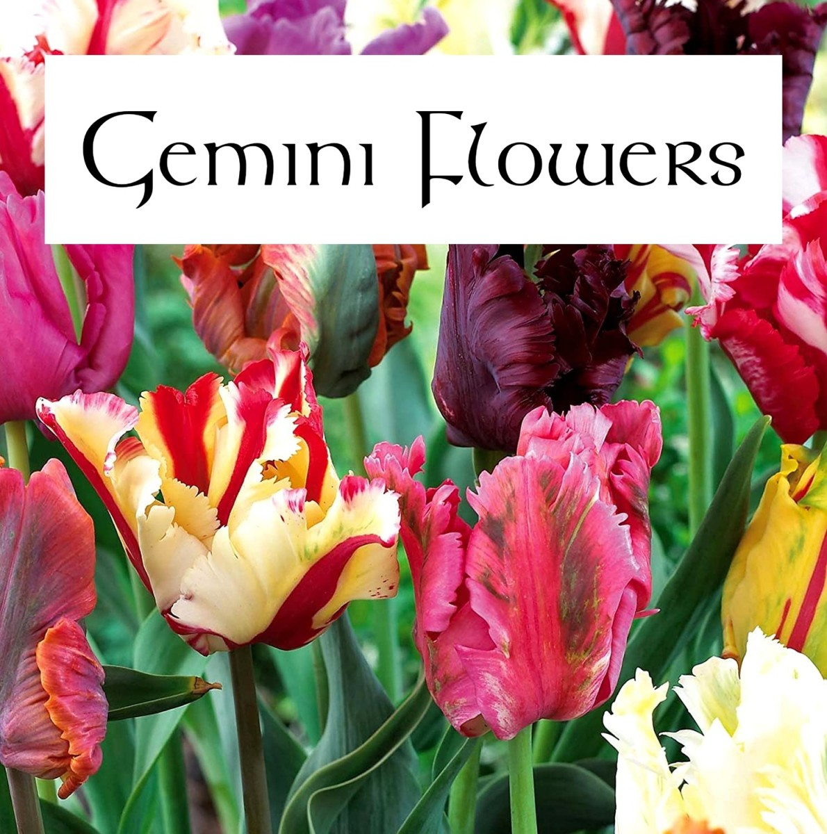 Parrot tulips are beautiful. They have a certain whimsy that is appropriate for the Gemini garden. A Gemini garden should be overflowing with unique flora.
