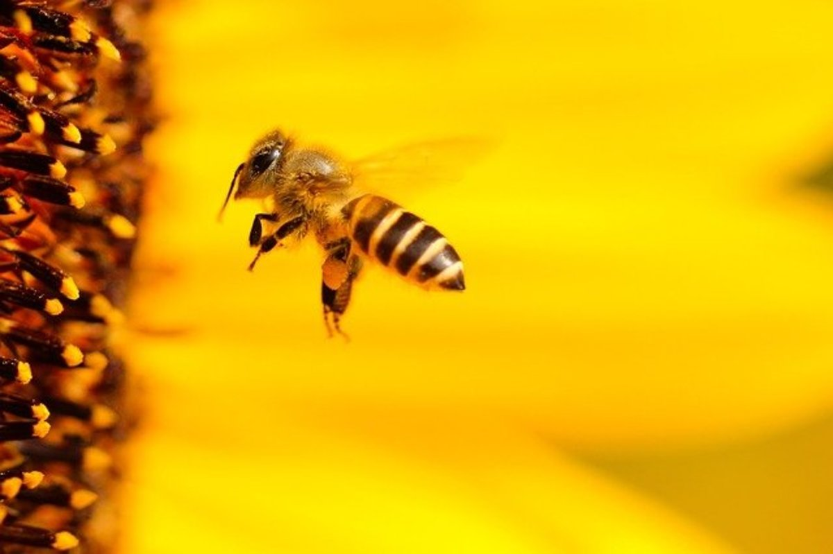 Sunflowers can attract bees, birds, and butterflies to your garden.