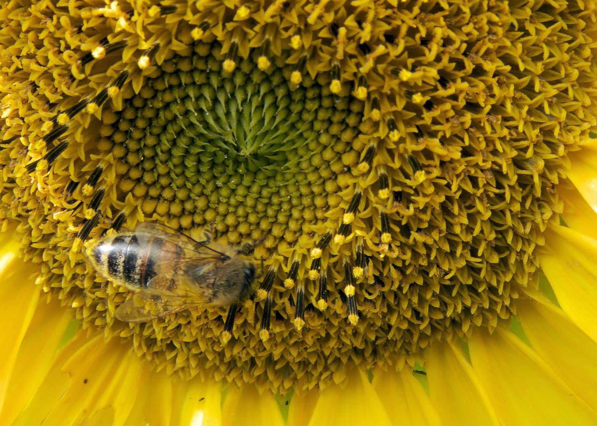 As bees pollinate the sunflowers, more and more tiny flowerettes will produce on top of the seeds.