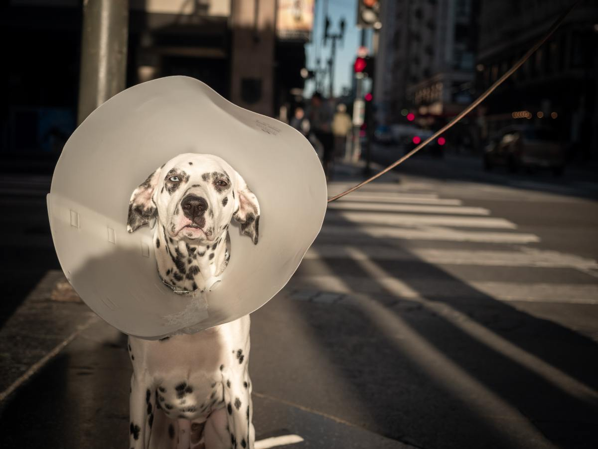 No dog enjoys wearing the dreaded cone, but it can be effective in preventing excessive licking.