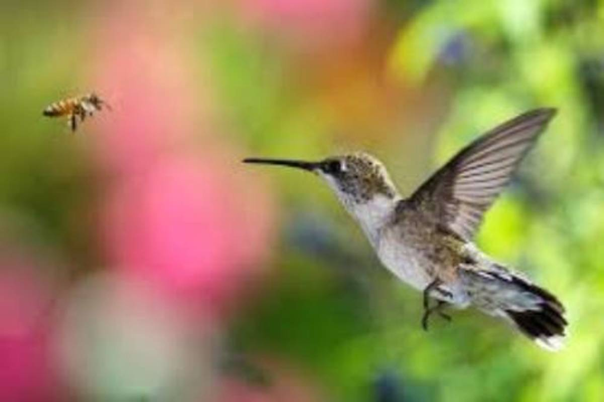 You should think of hummingbirds as bees with feathers.
