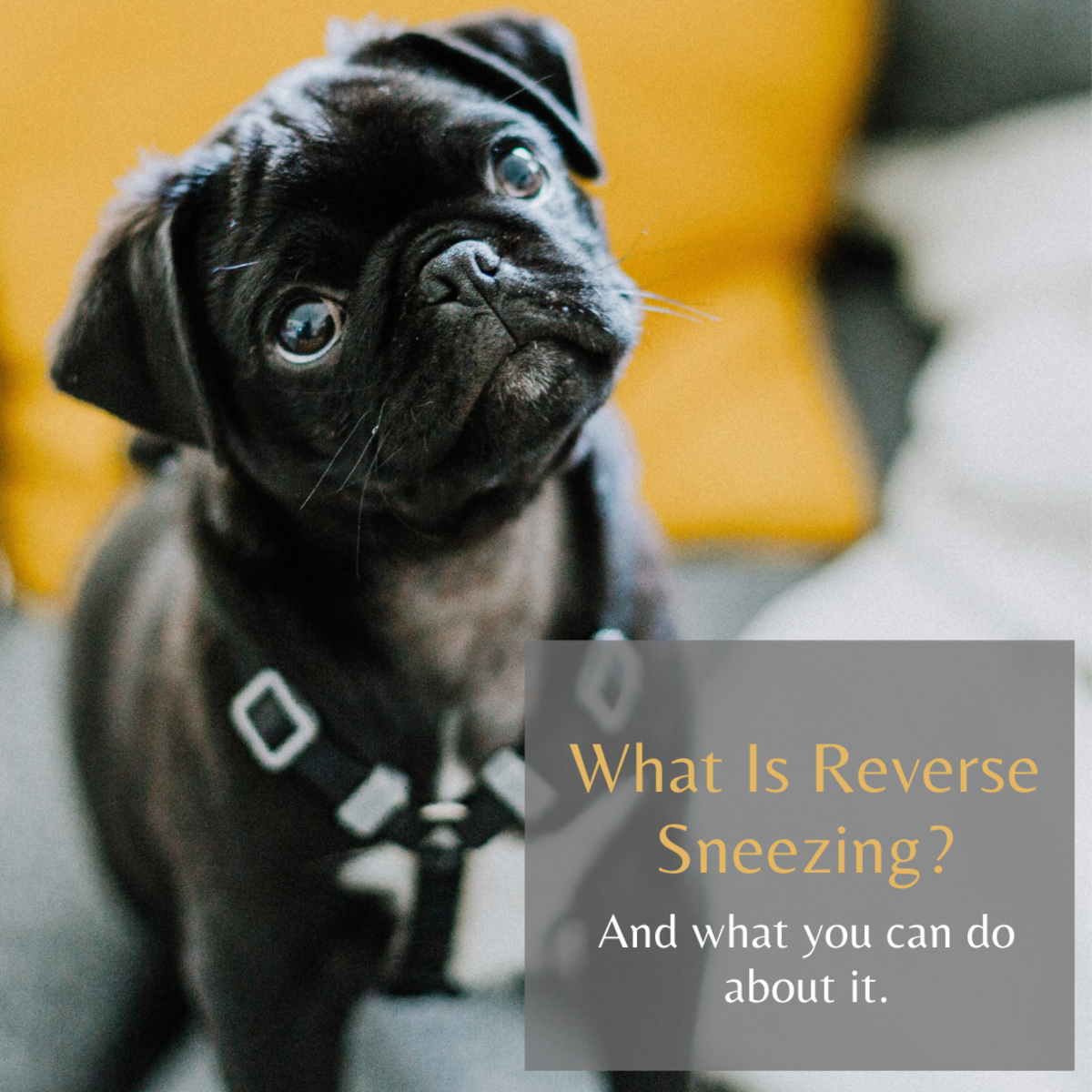 Learn how to help your dog if they are reverse sneezing.