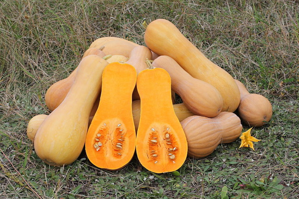 how-to-grow-butternut-squash