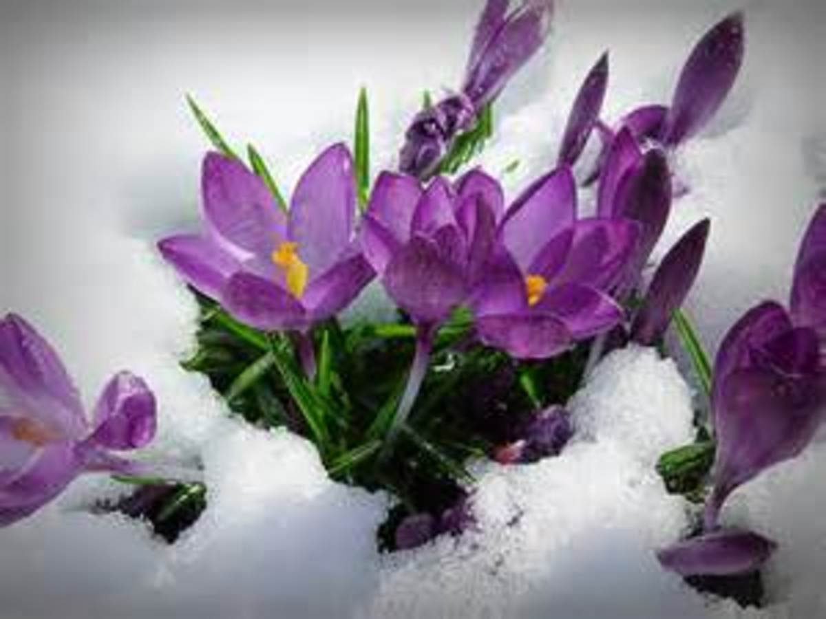 The Snow Crocus Flower