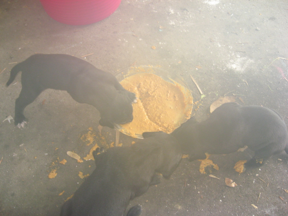 Pups make a huge mess when first learning to eat puppy food!