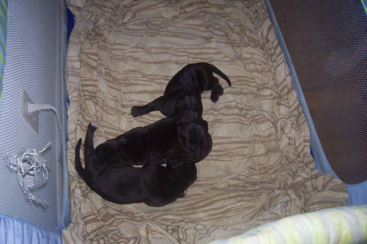 We've had three litters of Great Dane Puppies.
